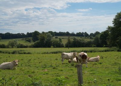 boeuf-fermier-champs