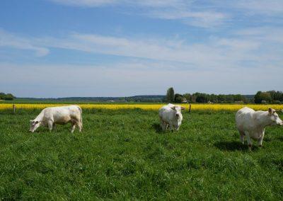 paturage-boeuf-fermier