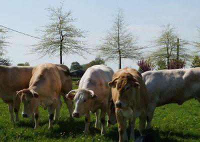 troupeau-boeufs-fermiers